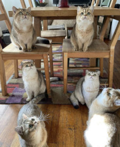 Six British Shorthair cats staring upwards together