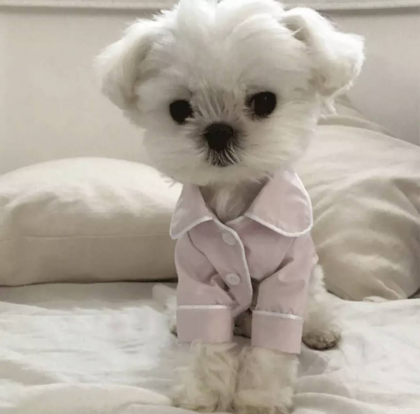 Button Up Pet Formal Shirt Pink & White Modeled On A Dog Front