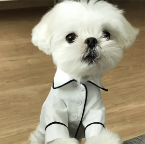 Button Up Pet Formal Shirt White & Black Modeled On A Dog Front